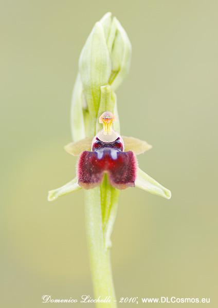 Ophrys passionis var. garganica)