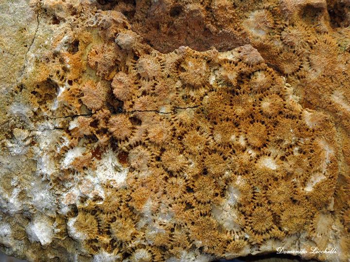 madrepore fossili
