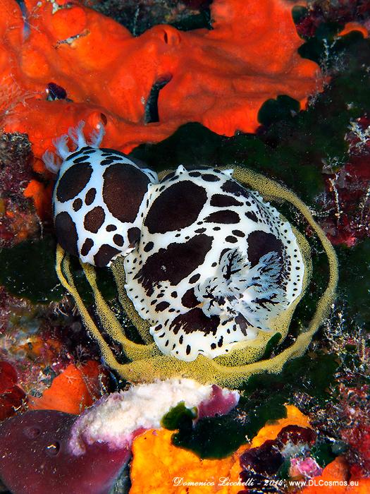 Coppia di Peltodoris atromaculata, dette anche vacchette di mare, intente nell'ovopositura