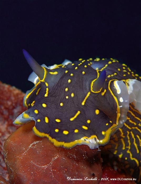 Felimare picta o doride dipinto, un colosso tra i nudibranchi potendo raggiungere i 20cm di lunghezza
