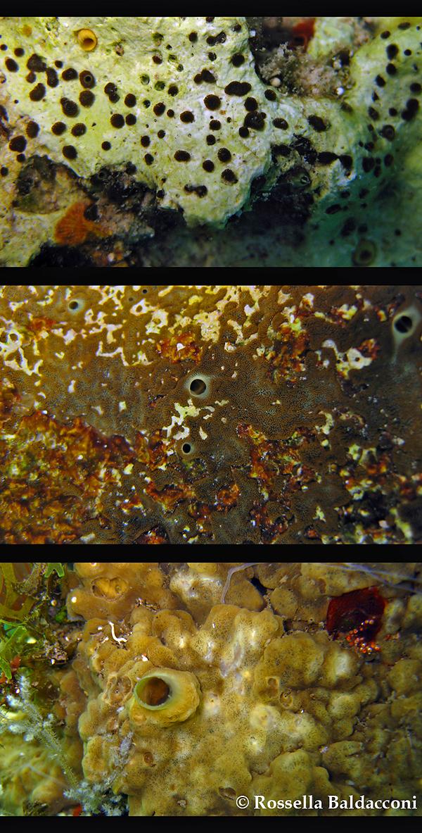 I differenti stadi della vita di Cliona viridis, da spugna perforante a incrostante e massiva