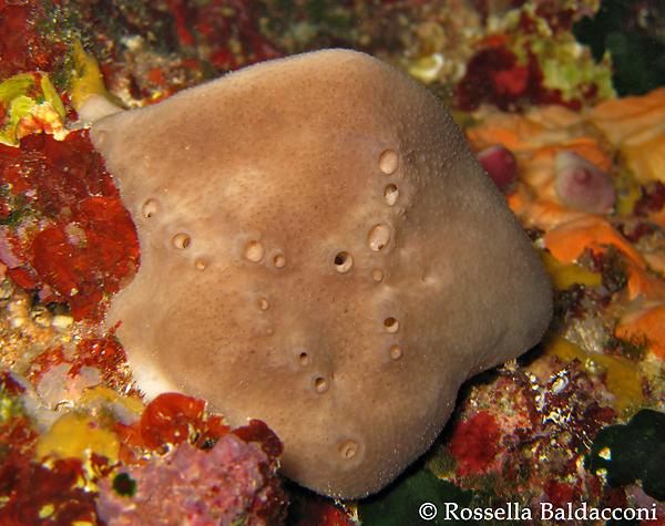 Un esemplare della spugna da bagno, Spongia officinalis, specie protetta dalla pesca incontrollata che ne ha ridotto drasticamente le popolazioni in tutto il Mediterraneo