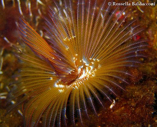Il verme alieno di origine tropicale Branchiomma luctuosum