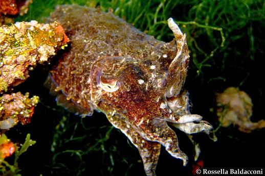 La seppia, Sepia officinalis, cefalopode molto diffuso nel Mar Piccolo