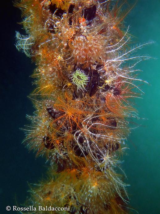 Vecchio palo della mitilicoltura ricoperto da un numero impressionante di gigli di mare, Antedon mediterranea