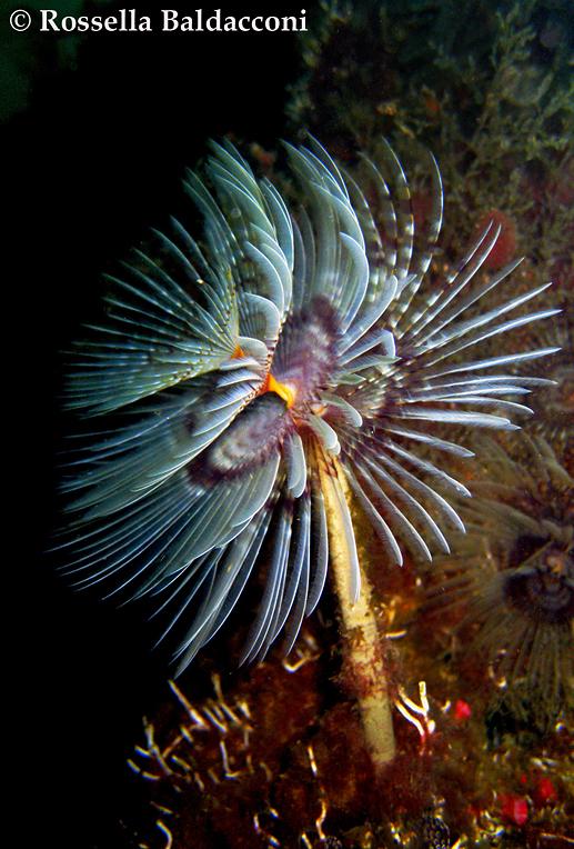 Uno spirografo, Sabella spallanzanii, con la vistosa corona branchiale bianca striata di viola