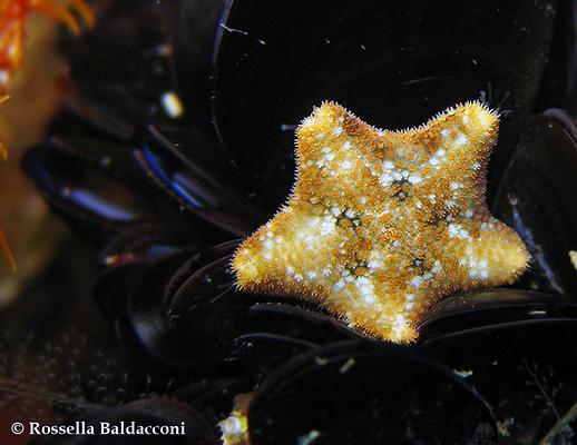 La stella marina più comune del Mar Piccolo, Asterina gibbosa